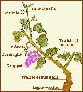 Pianta della vite dalla vite al vino for Pianta con la c